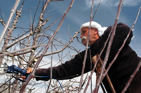 MAJDAL SHAMS - AUGUST 23:A Druze man works in the field in Majdal Shams,Israel on August 23 2009.The number of Druze people worldwide exceeds one million, with the vast majority residing in the Middle East.