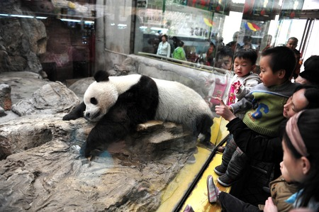 captivity: Panda bears in Beijing Zoo, China