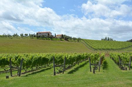 sauvignon: MURIWAI, NZL -  JAN 01 2015:Sauvignon Blanc wine vineyard in Muriwai, New Zealand.New Zealand is home to what many wine critics consider the worlds best Sauvignon Blanc.