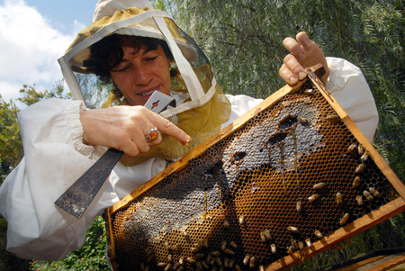 israel agriculture: YAD MORDECHAI SEPTEMBER 04: An Israeli beekeeper is collecting honey for Rosh Hashana 2007 on Tuesday September 04, 2007 in Kibbutz Yad Mordechai, Israel.