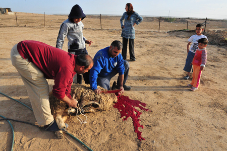 distributing: LAKIYA,ISR - DEC 12:Muslims slaughter a lamb on Eid al-Adha, Dec 8 2008.The festival is celebrated by sacrificing a lamb or other animal and distributing the meat to relatives, friends, and the poor.