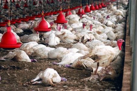 3 月 19 日 - ネゲブ西部: 死んだ七面鳥と日曜日 2006 年 3 月 19 日に西部のネゲブ、イスラエルでキブツ Holit で poision で彼らの死を待っているいくつか 報道画像