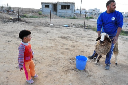 distributing: LAKIYA,ISR - DEC 12:Muslim preper to slaughter a lamb on Eid al-Adha, Dec 8 2008.The festival is celebrated by sacrificing a lamb and distributing the meat to relatives, friends and the poor. Editorial