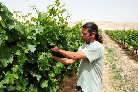 turismo ecologico: NEGEV DESIERTO - 15 de mayo: Un agricultor israel� con su vi�a, el 15 de mayo de 2009 en el desierto de Negev, Israel.Today muchos agricultores israel�es utilizando m�todos de cultivo antiguo del desierto que se remontan a la �poca de la gente Nabatioan.