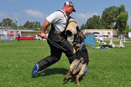 specifically: ASHDOD, ISR -  JULY 31:Police dog attack on July 31 2009.IT trained specifically to assist police and other law-enforcement personnel in their work.The most commonly used breed is the German Shepherd.