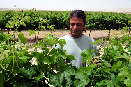 ecological tourism: NEGEV DESERT - MAY 15: An Israeli farmer with his vineyard on May 15 2009 in the Negev desert, Israel.Today many Israeli farmers using ancient desert farming methods going back to the time of the Nabatioan people.