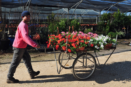seasonal worker: REHOVOT - JANUARY 22: Worker growing flowers in a greenhouse on January 22 2010 in Rehovot, Israel.Many flowers can be grown in greenhouses in late winter and early spring, and then transplanted outside as the weather warms. Editorial