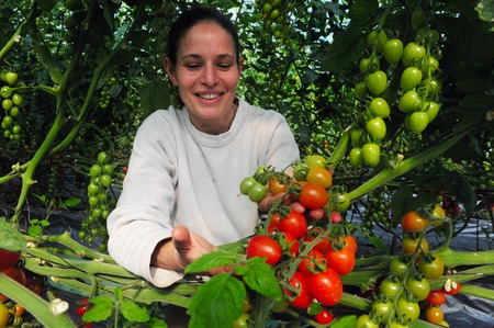 WESTERN NEGEV - DECEMBER 06: An Israeli woman farmer with a hand full of cherry tomatoes in his farm on December 06 2009 at the Western Negev, Israel.The legendary cherry tomato was developed in Israel in Editorial