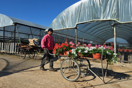 transplanted: REHOVOT - JANUARY 22: Worker growing flowers in a greenhouse on January 22 2010 in Rehovot, Israel.Many flowers can be grown in greenhouses in late winter and early spring, and then transplanted outside as the weather warms. Editorial