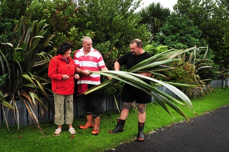 new zealand flax: GREYMOUTH,NZ - APRIL 19:Men cuts flax on April 19 2009.Its an iconic plant in the cultural and economic history of New Zealand for both the Maori people and the later European settlers. Editorial