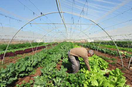 exporter: REHOVOT - JANUARY 22: Israeli farmer observing his crops on January 22 2010 in Rehovot, Israel.Israel is a major exporter of fresh produce and a world-leader in agricultural technologies despite its climate.