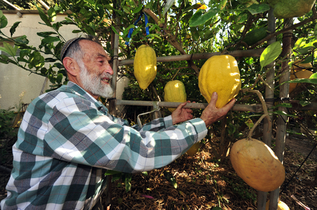 succos: NETIVOT - SEPTEMBER  06: Israeli Jewish man checks his larg etrogs one of the Four Species in his garden befor the Jewish holiday Sukkoth on September 06, 2009 in Netivot, Israel.