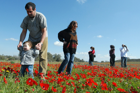 "WESTERN NEGEV - FEBUARY 02: Parents play with their toddler in a poppy field during Darom Adom – ""Scarlet South"" festival on Febuary 02 2010 in the western Negev, Israel."