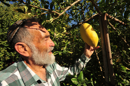 sukkoth: NETIVOT - SEPTEMBER  06: Israeli Jewish man checks his larg etrogs one of the Four Species in his garden befor the Jewish holiday Sukkoth on September 06, 2009 in Netivot, Israel.