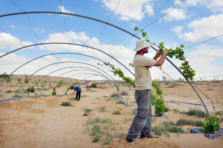despite: NEGEV DESERT - APRIL 06: An Israeli farmer during desert farming on April 06 2011 in the Negev, Israel.Israel is a major exporter of fresh produce and a world-leader in agricultural technologies despite its climate. Editorial