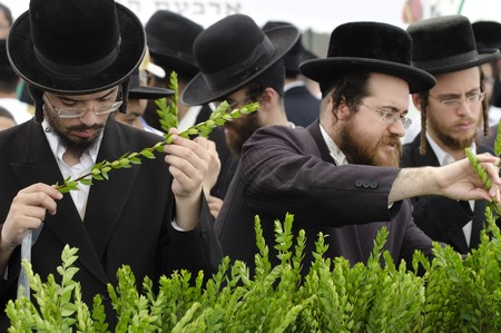 succos: ASHDOD - OCTOBER 12 : Jewish ultra-orthodox people inspect Aravah at a four species market for the Jewish holiday of Sukkot on October 12 2011 in Ashdod,Israel.