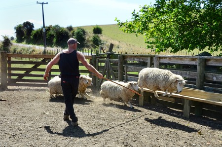 shearer: NEW ZEALAND JANUARY 30 2012: A farmer with his sheep in a sheep farm in New Zealand on January 30 2012. Editorial