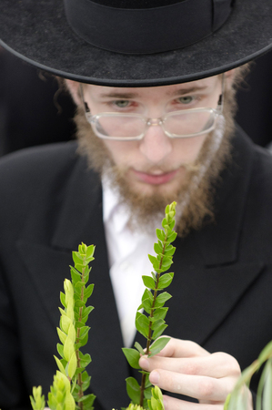 aravah: ASHDOD - OCTOBER 12 : Jewish ultra-orthodox man inspect Aravah at a four species market for the Jewish holiday of Sukkot on October 12 2011 in Ashdod,Israel. Editoriali