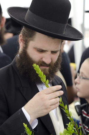 succos: ASHDOD - OCTOBER 12 : Jewish ultra-orthodox man inspect Aravah at a four species market for the Jewish holiday of Sukkot on October 12 2011 in Ashdod,Israel. Editorial