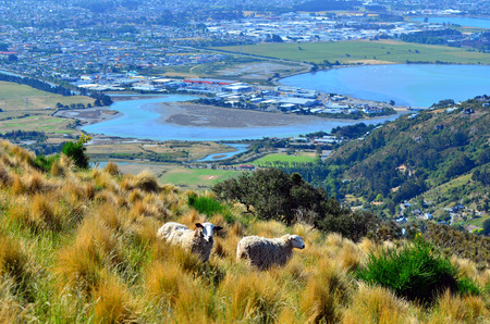 the east coast: Two wool sheep against aerial landscape view of Christchurch in Canterbury plains and pegasus bay on the east coast of the south island of New Zealand.