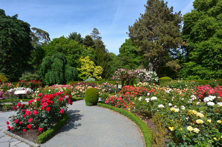 CHRISTCHURCH,  NZL - DEC 04 2015:The Heritage Rose Garden in Christchurch Botanic Gardens, New Zealand. It has a selection of rambling heritage roses that delight in the summer months.