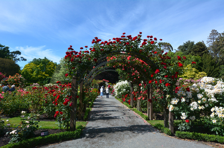 rambling: CHRISTCHURCH,  NZL - DEC 04 2015:The Heritage Rose Garden in Christchurch Botanic Gardens, New Zealand. It has a selection of rambling heritage roses that delight in the summer months.