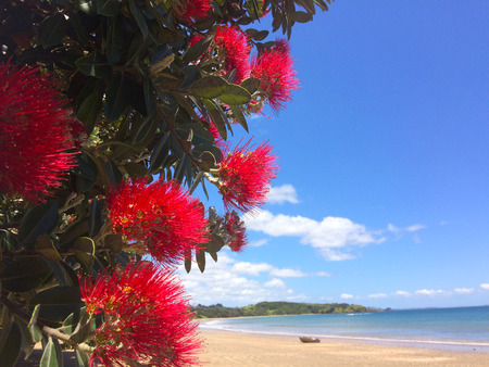 Pohutukawa red flowers blossom on the month of December over a sandy beach with a small fishing boat doubtless bay New Zealand. Stock Photo