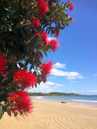 new zealand beach: Pohutukawa red flowers blossom on the month of December over a sandy beach with a small fishing boat doubtless bay New Zealand. Stock Photo