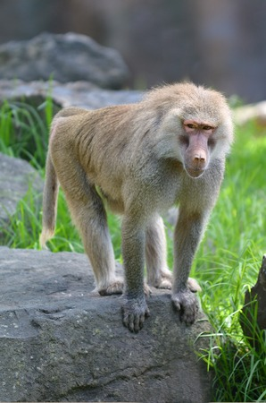 Young Hamadryas baboon, native to the Horn of Africa and the southwestern tip of the Arabian Peninsula.