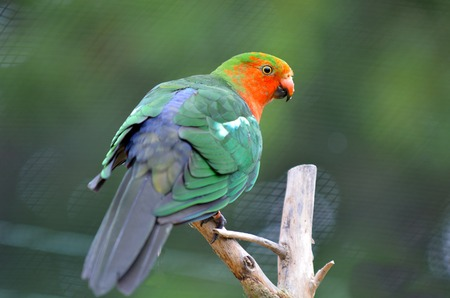 king parrot: Male Australian king parrot Alisterus scapularis sits on a tree.It inhabit dense sub-tropical rainforests and can live up to 25 year. Stock Photo