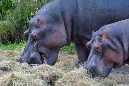 unpredictable: Two Hippopotamus Hippopotamus amphibius eat hay. The hippopotamus is a highly aggressive and unpredictable animal and is ranked among the most dangerous animals in Africa