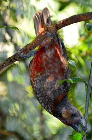 aotearoa: North Island Kaka Nestor meridionalis Similar to its cousin the Kea in size and behaviour, Kaka has distinctive dark reddish plumage and endangered