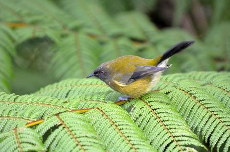 silver fern: Bellbird sits on a Fern in New Zealand