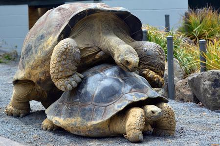 tortuga: Dos de apareamiento tortuga de Galápagos Chelonoidis nigra. Una tortuga de Galápagos de plena madurez puede llegar a pesar 260 kg y puede vivir más de 150 años. Foto de archivo