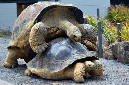 TORTOISE: Two Galapagos tortoise Chelonoidis nigra mating. A full-grown Galapagos tortoise can weigh 260kg and It can live more than 150 years. Stock Photo