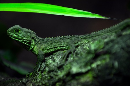 reptiles: Tuatara Sphenodon punctatus sit on a tree branch in rainforest. The reptiles endemic to New Zealand.