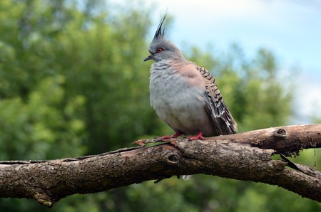 native bird: Female Crested pigeon Ocyphaps lophotes sits on a tree.  It is native bird to Australia.