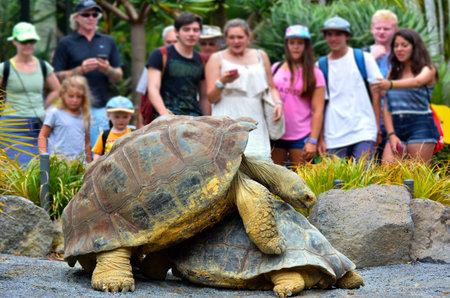 tortuga: AUCKLAND - ENE 19 de 2015: La gente mira dos Galápagos apareamiento tortuga. Una tortuga de Galápagos de plena madurez puede llegar a pesar 260 kg y puede vivir más de 150 años.