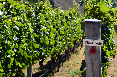 pinot noir: Pinot Noir sign on grape vine in Gibbston valley in Otago, south Island of New Zealand. Stock Photo