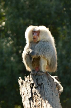 Männlich Hamadryas Pavian sitzen auf einem Baumstamm, stammt aus dem Horn von Afrika und der südwestlichen Spitze der arabischen Halbinsel.