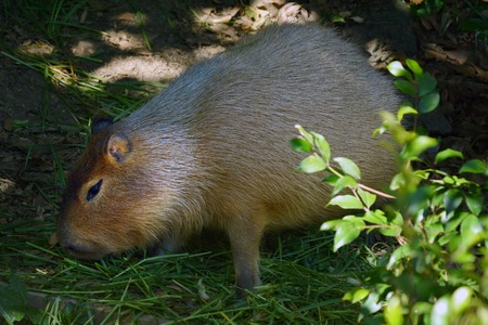 inhabits: Capybara (Hydrochoerus hydrochaeris) eat grass. The capybara is the largest rodent in the world, native to South America, inhabits savannas and dense forests. lives near and bodies of water.