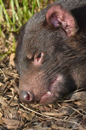 taz: Tasmanian devil face.  Endangered animal found in the wild only on the Australian island state of Tasmania.
