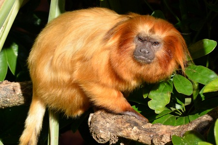 endangered species: A golden lion tamarin.The golden lion tamarin is an endangered species with an estimated wild population of about 3,200 individuals. Stock Photo