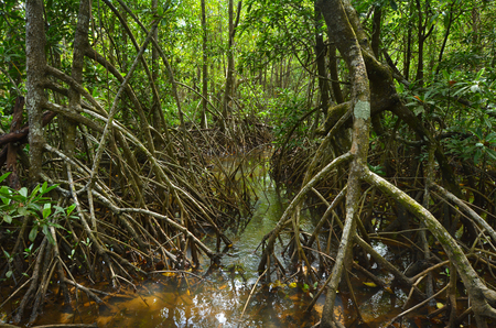 Wild landscape of Australian mangroves in Daintree National Park in the tropical north of Queensland, Australia Stock Photo