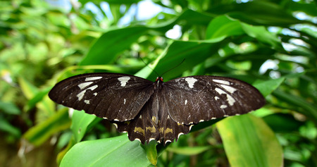 citrus family: Papilio aegeus, commonly known as the Orchard Swallowtail Butterfly or Large Citrus Butterfly is a species of butterfly from the family Papilionidae, that is found in eastern Australia and Papua New Guinea.