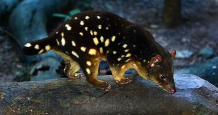 maculatus: Quoll Daintree National Park in the tropical north of Queensland  Australia Stock Photo