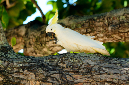 port douglas: White cockatoo eat on a tree branch in Port Douglas in the tropical north of Queensland , Australia. Stock Photo