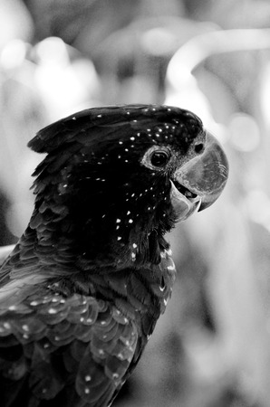 native bird: Portrait of a Red-tailed black cockatoo (Calyptorhynchus banksii) rare native bird to Australia. (BW) Stock Photo