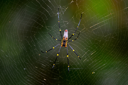 weavers: Golden silk orb-weavers (Nephila) spider male on a cobweb in the tropical north of Queensland, Australia Stock Photo