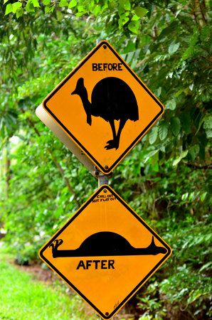 flightless: Cassowary warning sign on a road in Daintree National Park in the tropical north of Queensland, Australia. Cassowary is endangered flightless bird species needs nature conservation and protectionon.